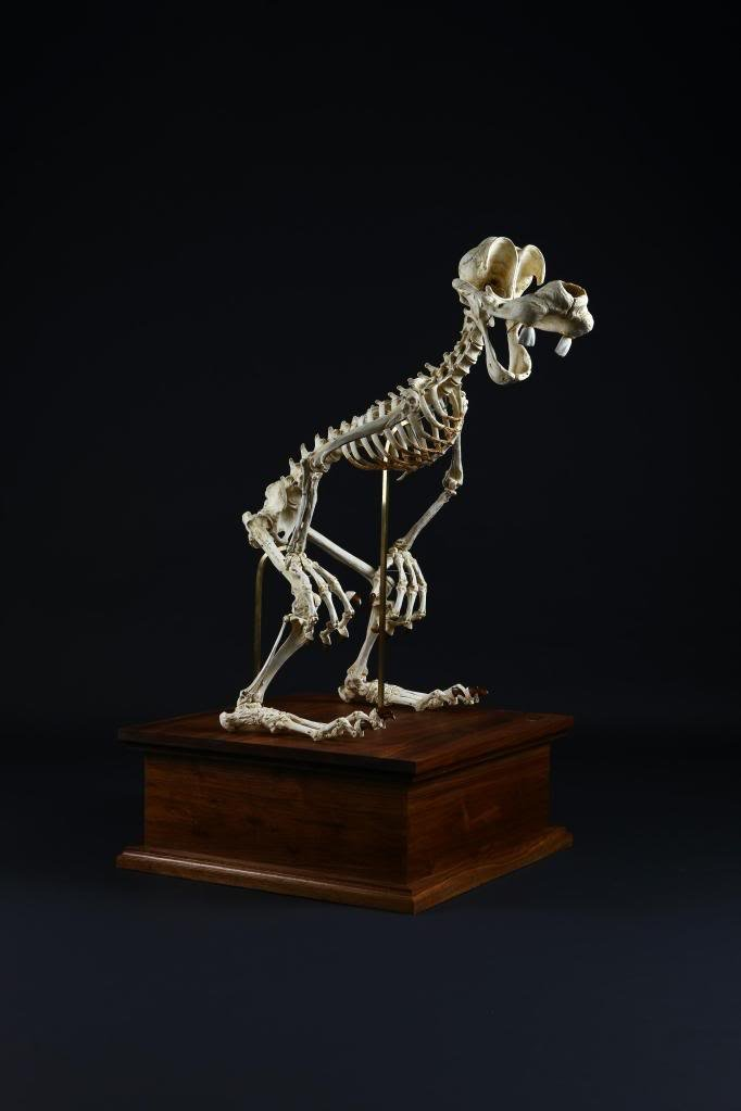 dingo-squelette-01