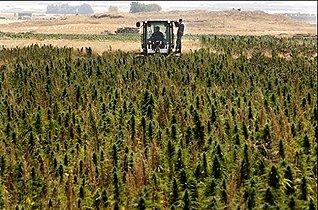 Mon humble avis sur la dépénalisation du cannabis #4